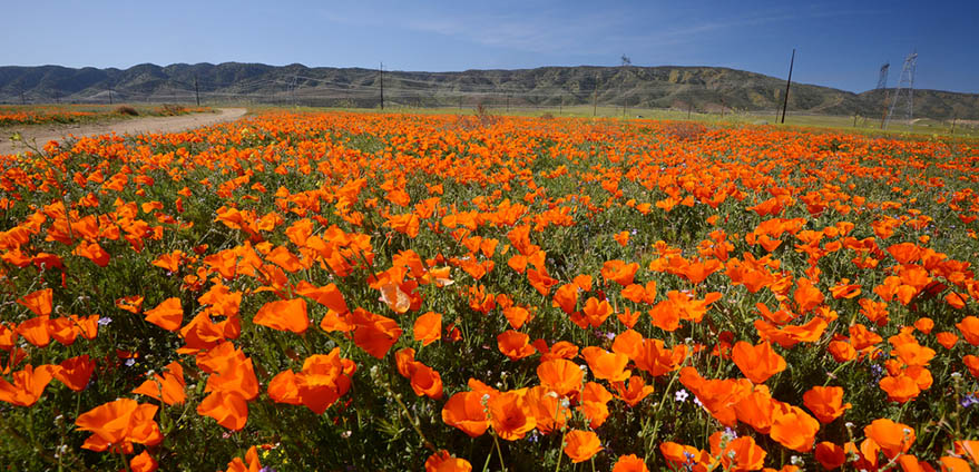 Thousands of bright orange wild poppies bloom in Antelope Valley California Poppy Reserve