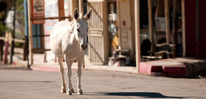 A white donkey stands in the middle of an empty road with storefronts in the background in Oatman, Arizona