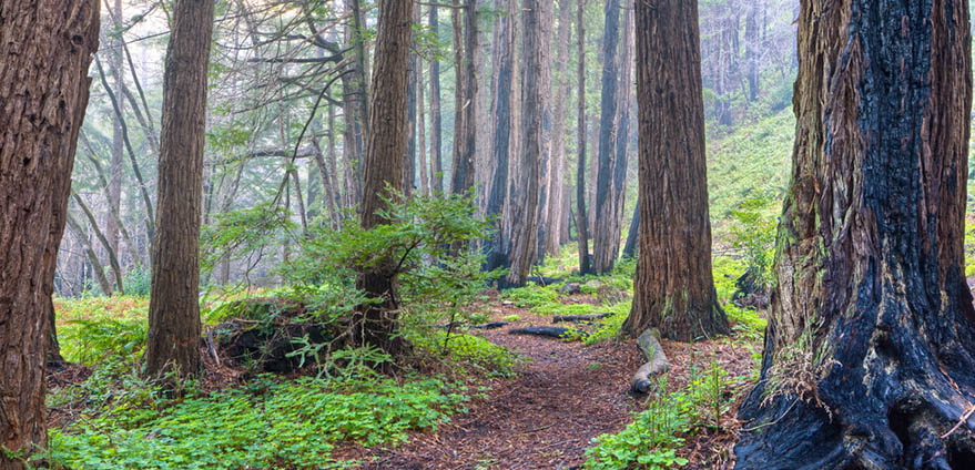 A misty Redwood forest trail in Limekiln State Park in California