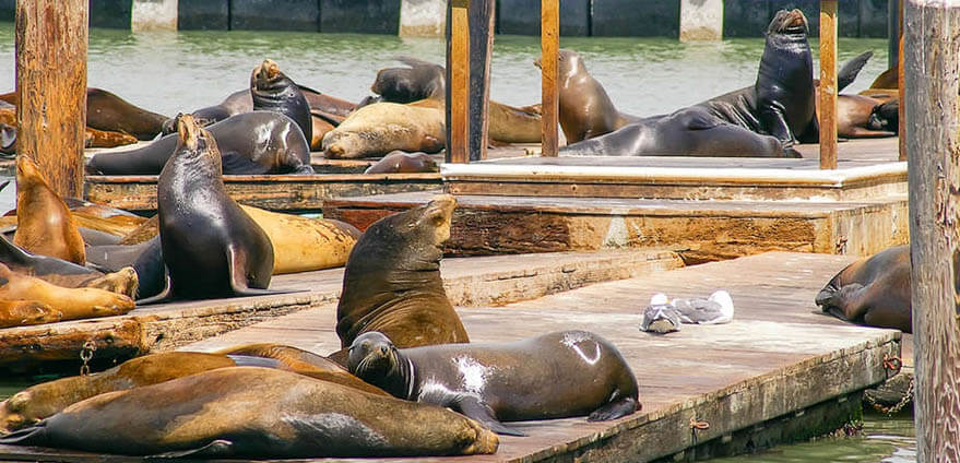 Large groups of sea lions lay on different piers above the water at Pier 39 in in San Francisco, California